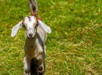 Friendly Farm Baby Goat