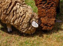 Friendly Farm Sheep