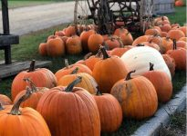 Pumpkins at Alysons Orchard